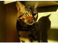 2.5 year old Bengal cat for adoption