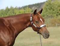 Yearling  AQHA Filly~Extensive Show Experiance