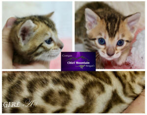 Bengal Kitten High Quality TICA Registered