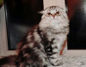 Scottish Fold chaton aux oreilles repliées. Fille.
