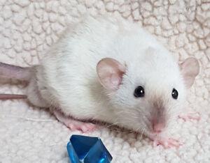 Dwarf Baby Dumbo Rats - Boys Ready Now!