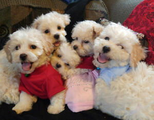 Adorable Bichon Frise puppies Only 2 left!