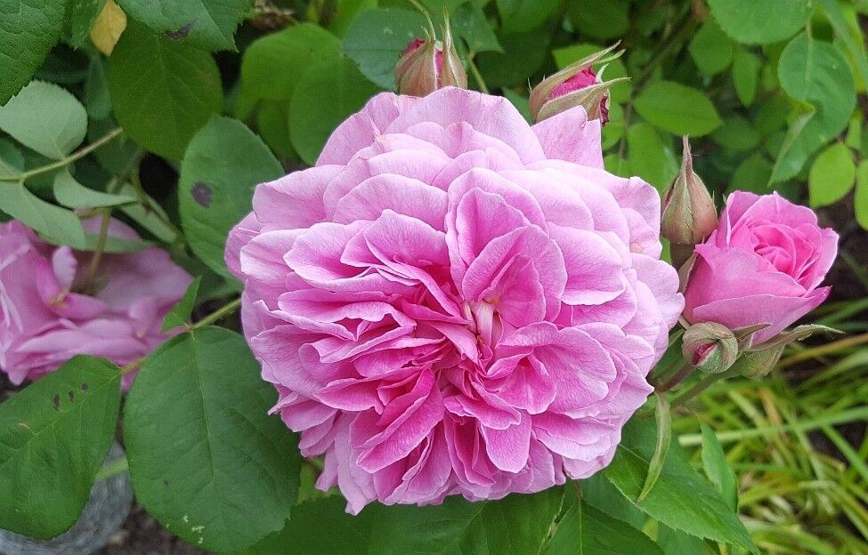 dfbfb701edc649 GERTRUDE JEKYLL English Shrub Rose bred by David Austin