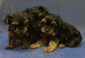 Tiny Yorkshire Terrier Puppies!