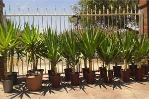 PLANTS - YUCCA AND AGAVE Manning South Perth Area Preview