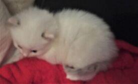 Ragdoll cross Siamese, British short hair Kittens