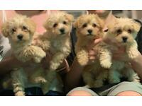 Beautiful Westiepoo Pups for sale