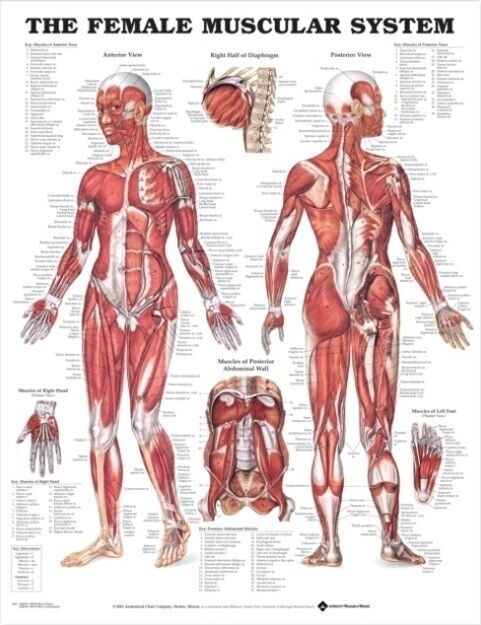FEMALE MUSCULAR SYSTEM (LAMINATED) POSTER (66x51cm) ANATOMICAL CHART ANATOMY
