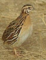 Reg coturnix quail