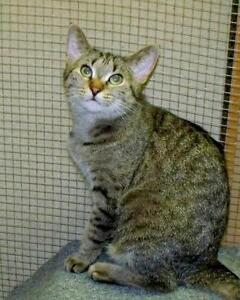 "Adult Female Cat - Domestic Short Hair: ""Peach"""