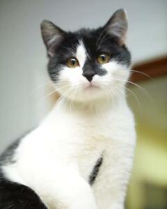 "Baby Male Cat - Domestic Short Hair: ""Star"""