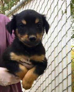 "Baby Male Dog - Shepherd-Rottweiler: ""Oz"""