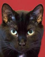 "Adult Male Cat - Domestic Short Hair: ""Taylor"""