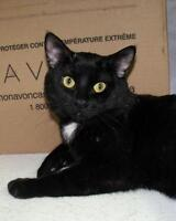 "Young Male Cat - Domestic Short Hair: ""Boo"""
