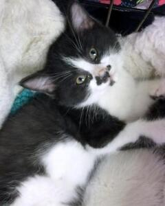 """Baby Male Cat - Domestic Short Hair: """"Donner"""""""