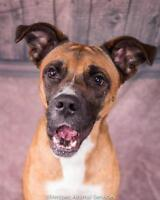 """Adult Male Dog - Boxer: """"Stormy"""""""