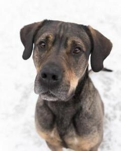 "Adult Male Dog - Mastiff-Shepherd: ""Baxter"""