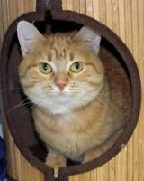 "Adult Female Cat - Domestic Short Hair: ""Dorito"""