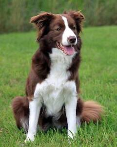 Looking for pure bred long haired border collie breeders! Ringwood East Maroondah Area Preview