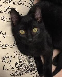 "Baby Male Cat - Domestic Short Hair-black: ""Wylie"""