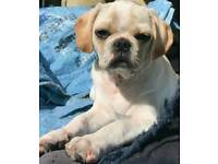 Pug x king Charles, pugalier boy puppy
