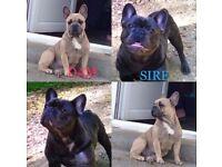 KC reg French bull dog puppies