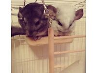 X2 chinchillas for sale with cage and accessories