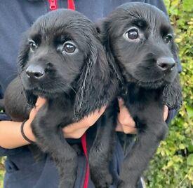 Outstanding Pedigree Cocker spaniel puppies