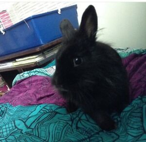 LOOKING FOR LIONHEAD BUNNY