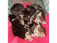 Mainecoon X Bengal kittens