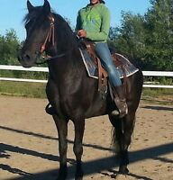 Morgan cross Newfoundland Gelding for Sale