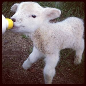ISO: Bottle Lambs