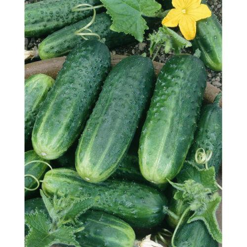 Carolina Cucumber Seeds 50+ Vegetable Garden Pickling NON-GMO USA FREE SHIPPING