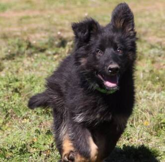 Long Coat German Shepherd Pups Mudgee Mudgee Area Preview