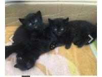 Handome black kittens!