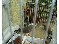 4 lovely zebra finches and cage