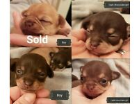 Exquisite Chocolate Chihuahua puppies