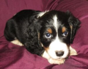 English Springer | Kijiji in Ontario  - Buy, Sell & Save with
