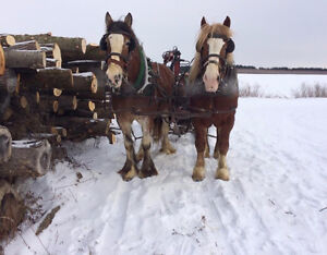 Jument clydesdale gestante