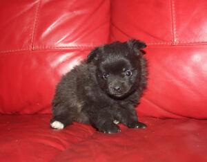 Teacup Pomeranian Puppies Windsor Region Ontario image 3