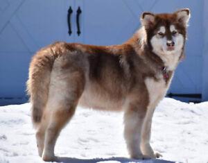 Cayenne - 6 year old Alaskan Malamute