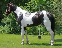 PAINT TOBIANO 3 1/2 ANS