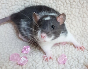 Baby Dumbo and Fancy Rats!  Girls Ready Now
