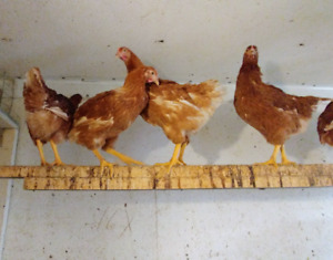 ISA BROWN PULLETS FOR SALE