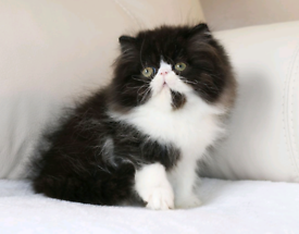 Last Stunning ultra face Persian boy left remaining ready now
