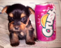 Small Yorkshire Terrier, RESERVATION