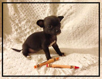 Chihuahua Puppy - ALL ADOPTED