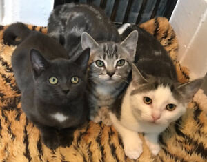 Rescued Trailer Park Kittens!- ALREADY NEUTERED/CHIPPED/VACC