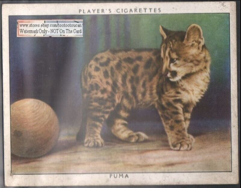 Young Puma Wild Cat 1938 Trade Advertising Card