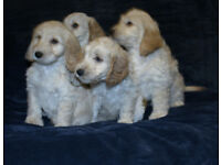 F1 Cockapoo Puppy's, Fully Vacinated, PRA Clear